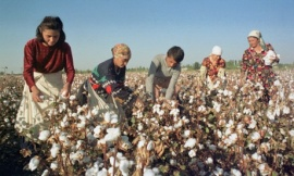 Crop of cotton in Uzbekistan