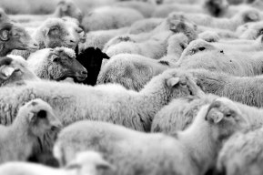 black_sheep-(1)