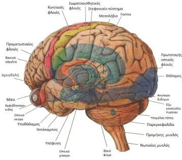 brain_structures