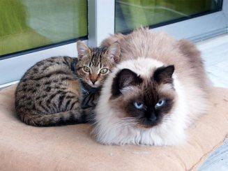 γάτα-των-Ιμαλαΐων